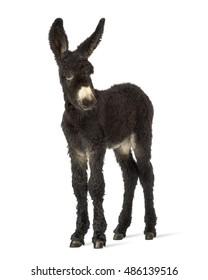 Young foal donkey, baudet du poitoux facing isolated on white