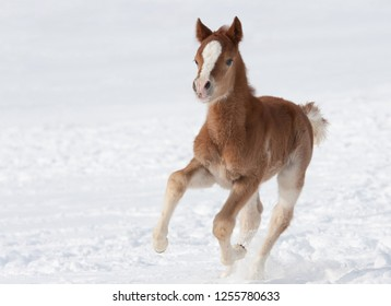 Young foal gallops the snow