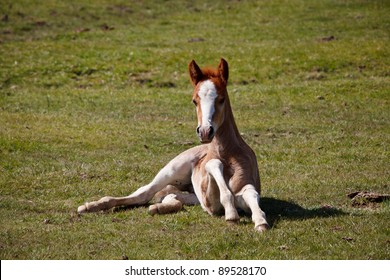 A young foal sitting on the ground in the New Forest.