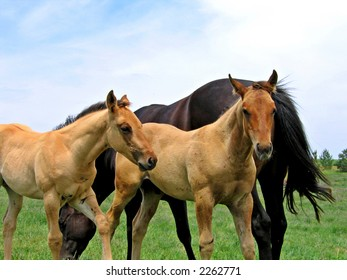 Young foals in a Midwestern pasture in the summertime
