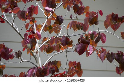 Young forest pansy tree on neutral background with new red heart shaped leaves blooming