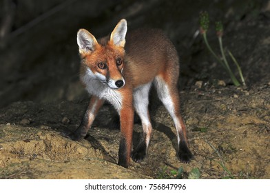 Young fox in autumn