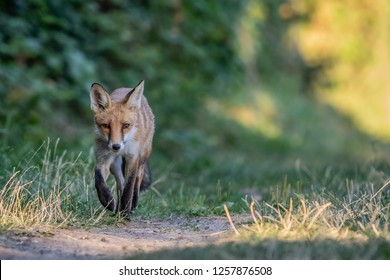 Young fox at a graveyard