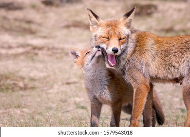 Young fox with his mother - family fox