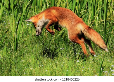 Young fox hunting in long grass, full length all paws off the ground, eyes on prey, front paws curled in anticipation of the pounce