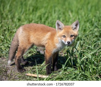 Young Fox Pup Playing in the Sun