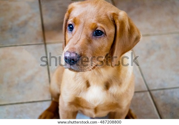 Young Fox Red Labrador Puppy Dog Stock Photo (Edit Now) 487208800