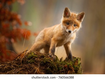 A young fox shot in a forest.