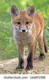 Young fox in the wild