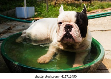 Young French Bulldog dog in a little pool.