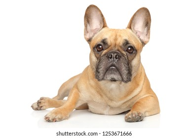 Young French Bulldog graceful lying on a white background. Animal themes