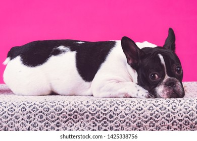 Young french bulldog pup. Laying on carpet alone, sad face. Isolated in pink background.