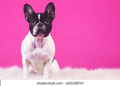 Young french bulldog pup. Sitting on carpet alone looking for attention. Isolated in pink background.