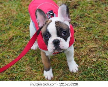 Young french bulldog puppy