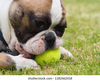 Young french Bulldog with a tennis ball
