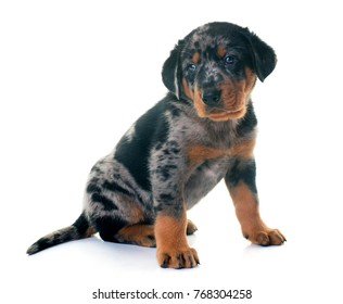 Young french Shepherd in front of white background