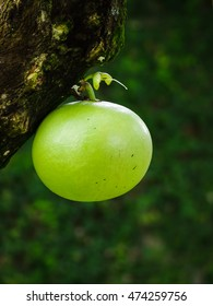 Young fresh Crescentia cujete Lin fruit with nature background