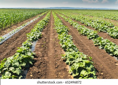 Young fresh cucumber plantation - cultivation of cucumbers in fields, growing organic vegetables