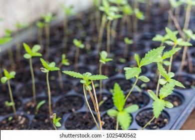 Young fresh cut cannabis clones in a legal indoor recreational grow farm