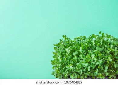 Young Fresh Green Sprouts of Potted Water Cress on Pastel Turquoise Background. Gardening Healthy Plant Based Diet Food Garnish Microgreens. Minimalist Style. Top View Flat Lay. Poster Banner Streamer