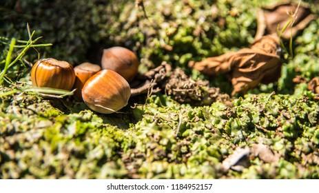 Young fresh hazelnuts - Shutterstock ID 1184952157
