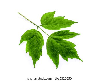 Young fresh leaves and maple seeds on a white background