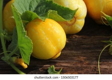 Young fresh lemon yellow cucumberon dark wooden background.