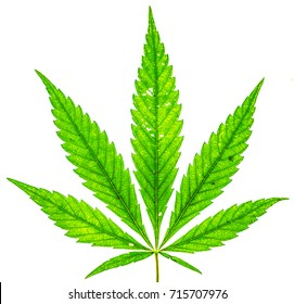 young fresh organic cannabis green leaf with five fingers and one more small isolate. Single marijuana plant on white background. Be happy with marijuana