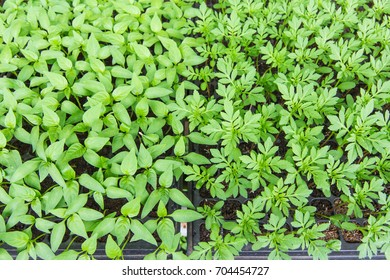 Young fresh seedling growing in plastic pots. Gardening background.
