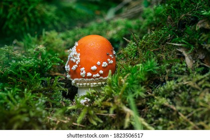 a young fresh toadstool in the autumn forest
