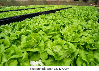 Young and fresh vegetable green color in white tray in hydroponic farm for health market.Fresh lettuce leaves, close up.,Butterhead Lettuce salad plant, hydroponic vegetable leaves. Organic food