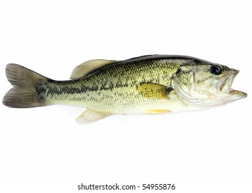 A young  fresh water largemouth bass.