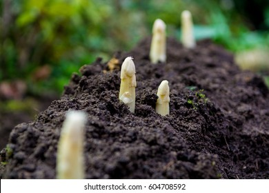 Young and fresh white asparagus - spring growth on cultivated fields, organic farm in the Netherlands