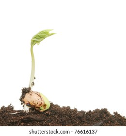 Young freshly germinated runner bean seedling growing in soil against a white background
