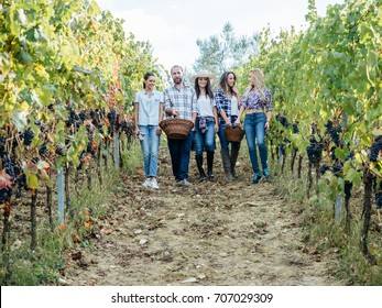 Young friends harvesting red grapes in the vineyard
