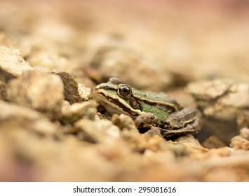 Young frog resting in a pond