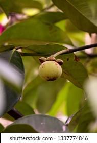 Young fruit of Mangosteen (Garcinia mangostana) on tree