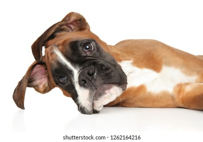Royalty Free Boxer Dog Images Stock Photos Vectors Shutterstock