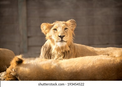 young funny lion with her herd