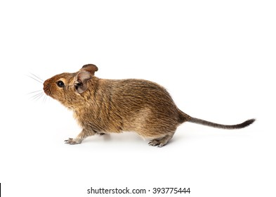 Young funny pet degu mouse isolated on a white background