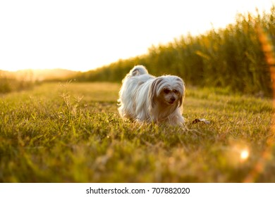 The young furry dog , walks on the lawn in the light before sunset.