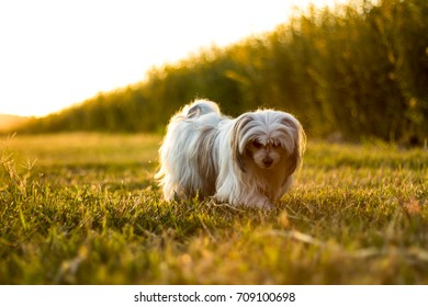 The young furry dog walks on the lawn in the light before sunset.