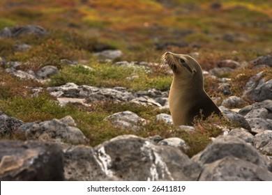 Young Galapagos sea lion backlit by the sun (Zalophus wollebaeki, South Plaza Island, Galapagos, Ecuador)