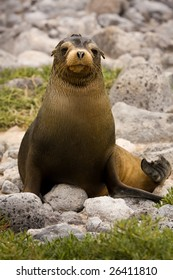 Young Galapagos sea lion (Zalophus wollebaeki, South Plaza Island, Galapagos, Ecuador)