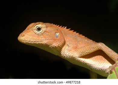 Young Garden Fence Lizard on Koh Samet Island, Thailand