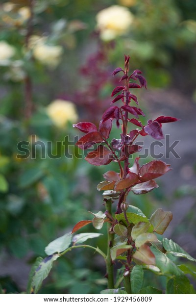 young-garden-rose-shoot-on-600w-19294568
