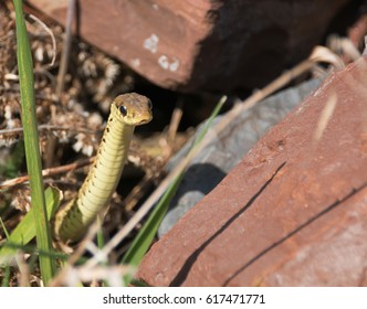 Young Garter Snake