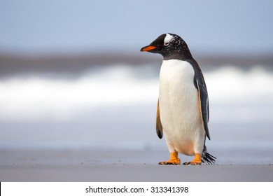 Young Gentoo Penguin on the beach