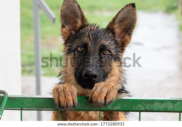 A young German shepherd dog, wet after the rain, looks at the camera, leaning its paws on the gate