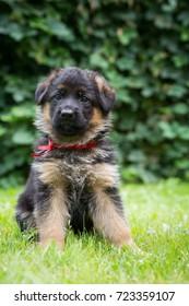 Young german shepherd puppy in kennel.